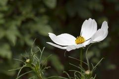 Fiore bianco dell'universo fotografie stock