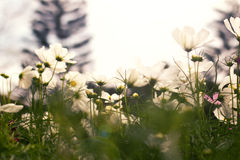 Fiore bianco dell'universo Fotografie Stock Libere da Diritti