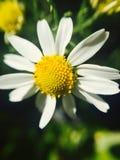 Fiore bianco della camomilla Fotografie Stock Libere da Diritti