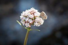 Fiore bianco della farfalla crema Fotografia Stock Libera da Diritti