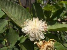 Fiore bianco della guaiava con il fiore e le foglie verdi arrugginiti immagine stock