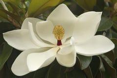 Fiore bianco della magnolia Fotografia Stock Libera da Diritti