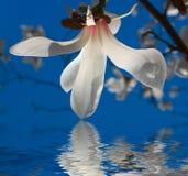 Fiore bianco della magnolia Immagini Stock