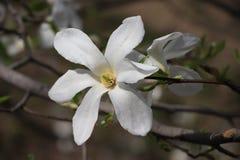 Fiore bianco della magnolia Immagine Stock