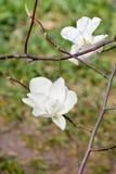 Fiore bianco della magnolia in fioritura Fotografia Stock