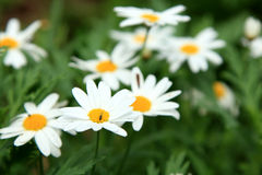 Fiore bianco della margherita Fotografie Stock Libere da Diritti