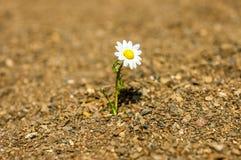 Fiore bianco della margherita della gerbera sul gambo isolato sulla sabbia Immagini Stock Libere da Diritti