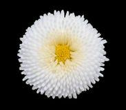Fiore bianco della margherita di pratolina isolato su fondo nero Immagine Stock