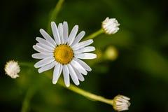 Fiore bianco della margherita immagini stock libere da diritti