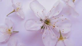 Fiore bianco della mela o di ciliegia della molla stock footage