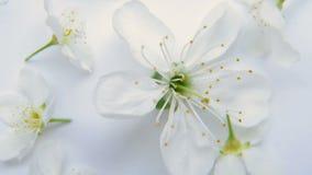 Fiore bianco della mela o di ciliegia della molla su un fondo bianco video d archivio