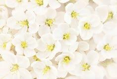 Fiore bianco della mela della primavera immagini stock libere da diritti