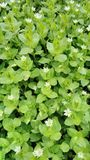 Fiore bianco della molla Fotografie Stock