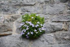 Fiore bianco della montagna Fotografia Stock