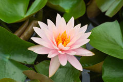 Fiore bianco della ninfea Immagine Stock