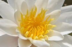 Fiore bianco della ninfea con il centro giallo fotografia stock