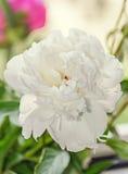 Fiore bianco della peonia con il germoglio, fondo della sfuocatura del bokeh, genere Paeonia Fotografia Stock
