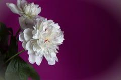 Fiore bianco della peonia su fondo viola Spazio per testo Immagine Stock