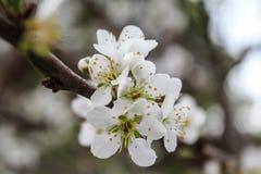 Fiore bianco della prugna Fotografia Stock