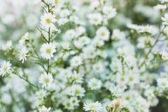 Fiore bianco della taglierina Immagini Stock