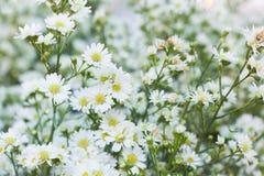 Fiore bianco della taglierina Fotografia Stock