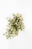 Fiore bianco della taglierina Fotografie Stock