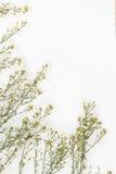 Fiore bianco della taglierina dentro Immagini Stock