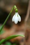 Fiore bianco dello snowdrop Fotografia Stock Libera da Diritti
