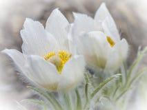 Fiore bianco di alpina del Pulsatilla Immagine Stock Libera da Diritti