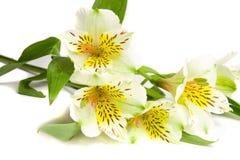 Fiore bianco di alstroemeria Fotografia Stock Libera da Diritti