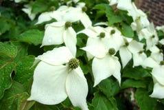 Fiore bianco di Brooklyn Immagine Stock