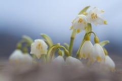 Fiore bianco di bucaneve con il fondo astratto del bokeh Immagini Stock