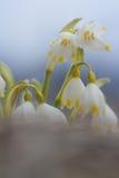 Fiore bianco di bucaneve con il fondo astratto del bokeh Immagini Stock Libere da Diritti