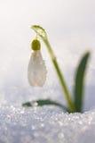 Fiore bianco di bucaneve in neve con il fondo brillante del bokeh dello sno Fotografia Stock