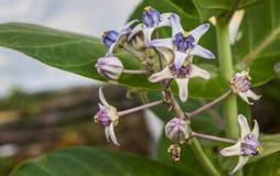 Fiore bianco di Calotropis e porpora variopinto (fiore della corona) Fotografia Stock Libera da Diritti