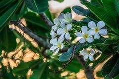 Fiore bianco di Champa Fotografie Stock