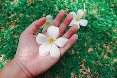 Fiore bianco di Frangipaniplumeria che stava tenendo a mano fotografie stock libere da diritti