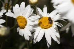 Fiore bianco di molti grande camomiles nel giardino di estate, fondo L'ape raccoglie il polline del nettare sui fiori dell'estate fotografia stock libera da diritti