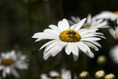 Fiore bianco di molti grande camomiles nel giardino di estate, fondo L'ape raccoglie il polline del nettare sui fiori dell'estate immagine stock libera da diritti