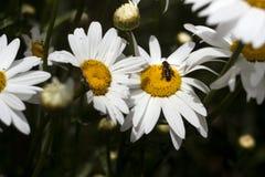Fiore bianco di molti grande camomiles nel giardino di estate, fondo L'ape raccoglie il polline del nettare sui fiori dell'estate immagine stock