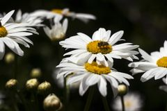 Fiore bianco di molti grande camomiles nel giardino di estate, fondo L'ape raccoglie il polline del nettare sui fiori dell'estate immagini stock