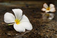 Fiore bianco di plumeria Fotografie Stock