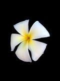 Fiore bianco di plumeria Immagine Stock