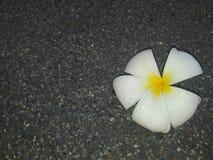 fiore bianco di plumeria bello della stazione termale dell'Asia fotografie stock