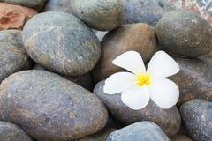 Fiore bianco di plumeria sulle pietre del ciottolo Immagine Stock Libera da Diritti