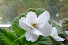 Fiore bianco di saintpaulia della pianta da appartamento, viola africana, in fioritura fotografia stock libera da diritti