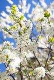 Fiore bianco di sakura Fotografie Stock Libere da Diritti