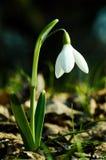 Fiore bianco di Snowdrop Immagini Stock