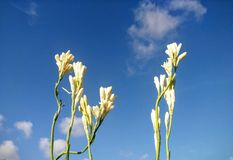 Fiore bianco e cielo blu Fotografia Stock