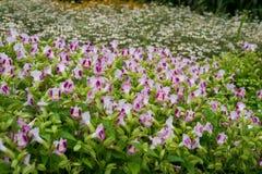 Fiore bianco e dentellare Fotografia Stock